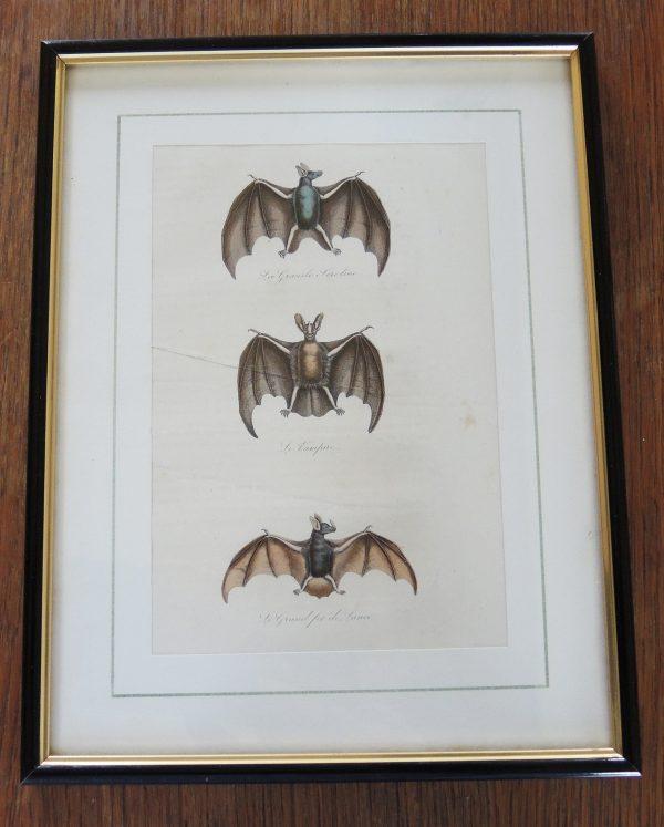 ancienne-gravure-sur-acier-encadree-19eme-3-chauve-souris