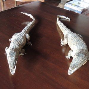 Taxidermie Caïman – Crocodile – Alligator