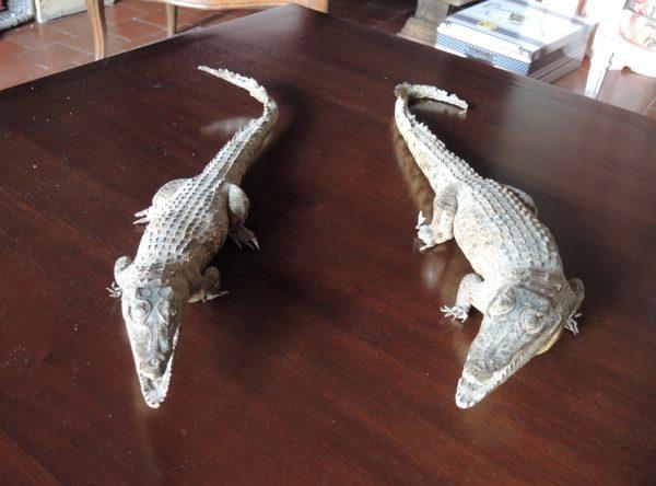 Caïman – Crocodile – Alligator Naturalisés